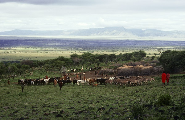 Maasai & Cattle by Carol Beckwith and Angela Fisher