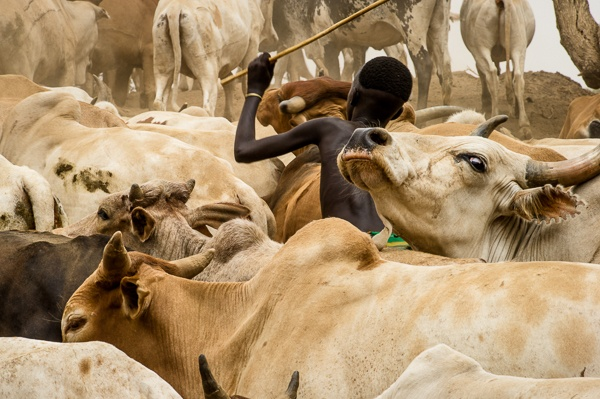 Young Suri Boy Herds Cattle  by John Rowe