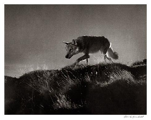 Wolf from Film by Leni Riefenstahl
