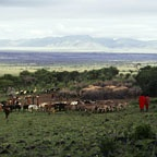 Maasai & Cattle