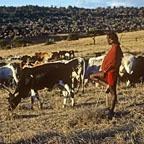 Maasai Warrior & Cattle