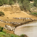 Cattle, Goats, and Sheep Come to Water at the Omo River