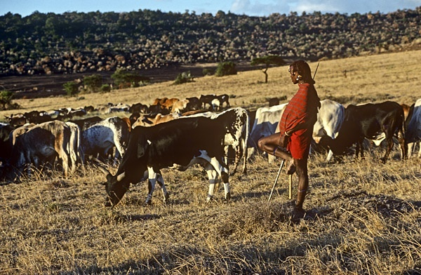 Maasai Warrior & Cattle by Carol Beckwith and Angela Fisher