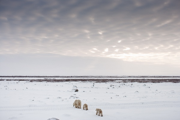 Polar Bears, Manitoba, Arctic Circle, Canada 2007 by Colin Finlay