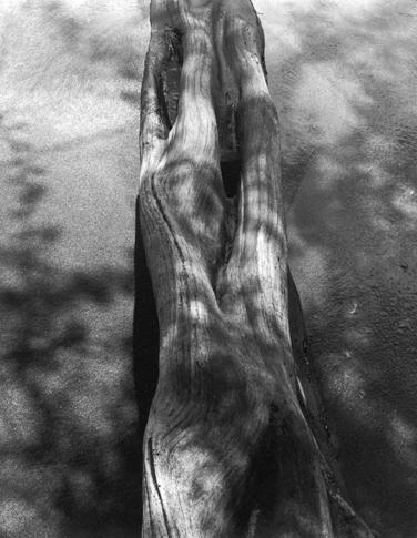 Mesquite Trunk and Shadows by Dorothy Kerper Monnelly
