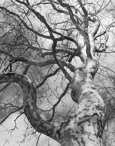 Sycamore, Melting Snow by Dorothy Kerper Monnelly