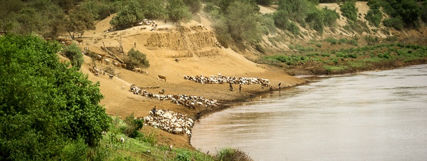 Cattle, Goats, and Sheep Come to Water at the Omo River by John Rowe