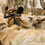 Young Suri Boy Herds Cattle