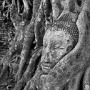 Buddha face, banyan tree<br />