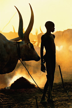 """Young Dinka Herder with Ox"""